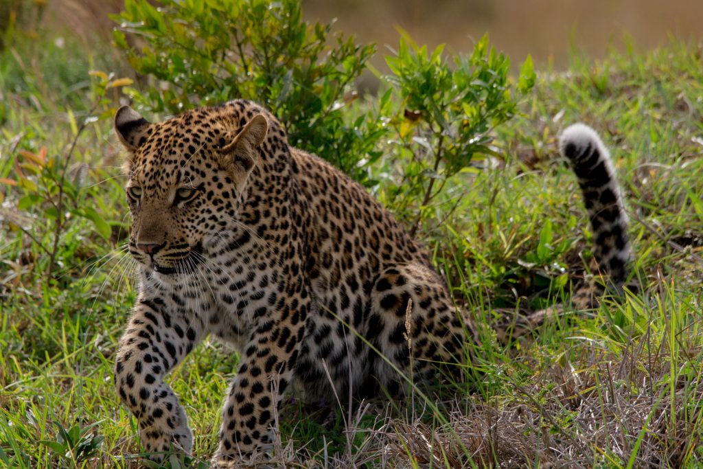 isimangaliso sightings leopard