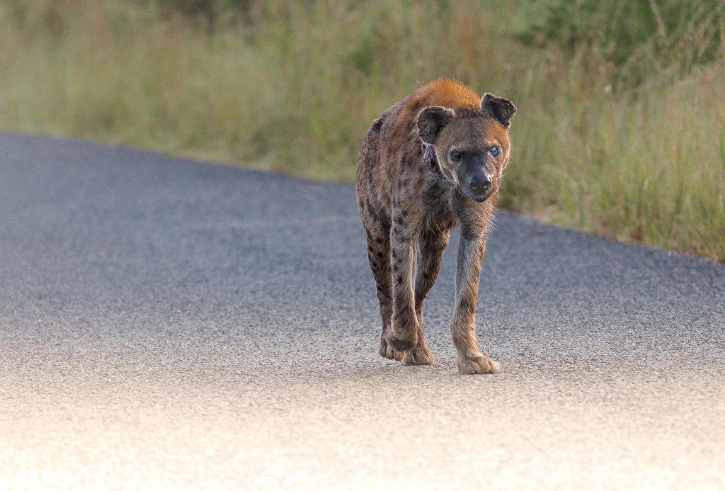 isimangaliso sightings 2018 hyenna
